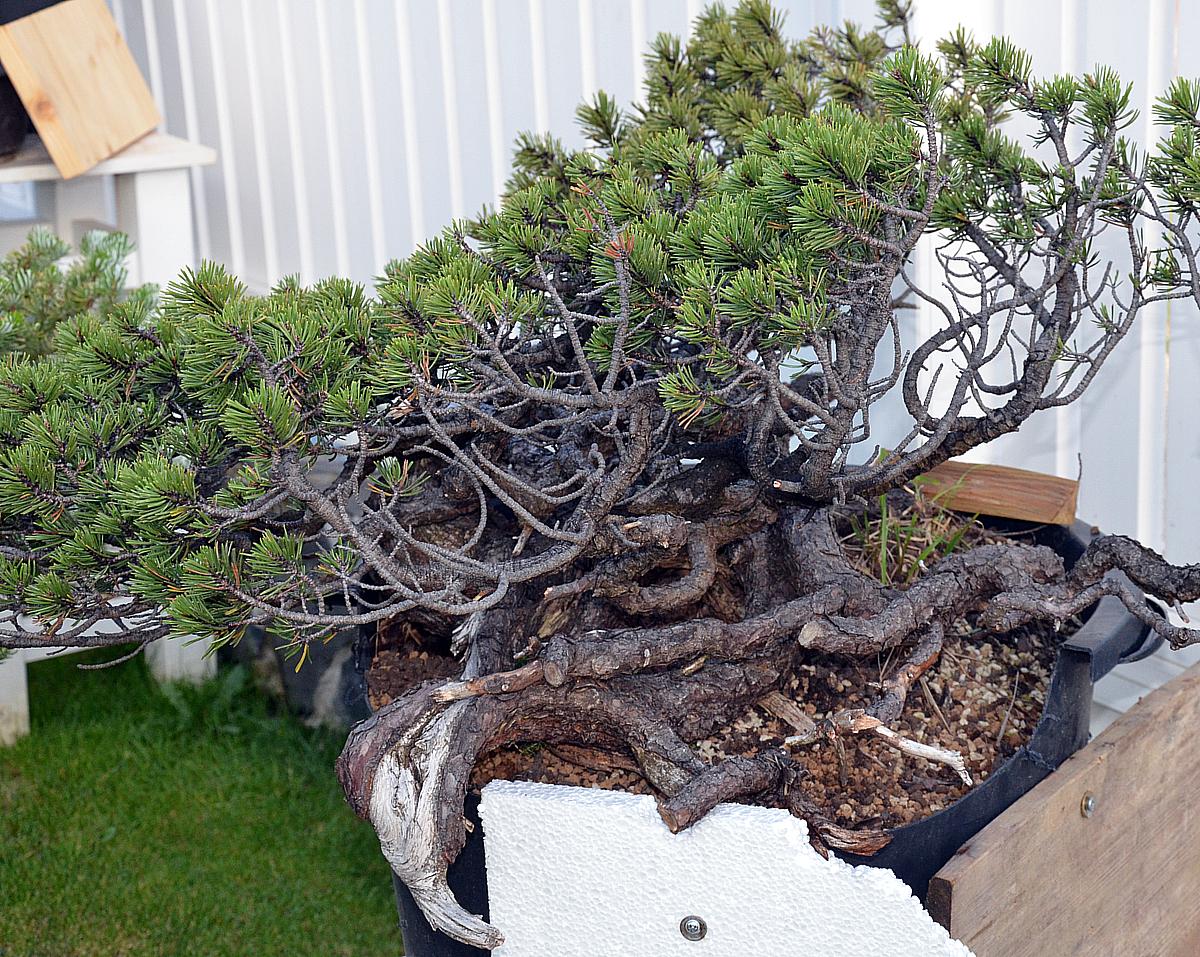 bonsai living art pinus mugo yamadori. Black Bedroom Furniture Sets. Home Design Ideas