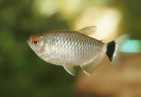 the red eye tetra or red eyed tetra originates from brazil and ...