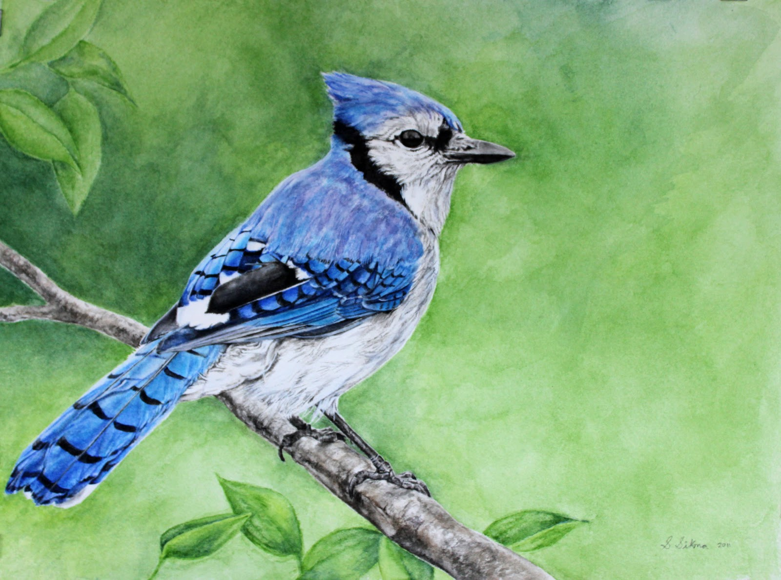 Speaking Pictures Blue Jay Watercolour