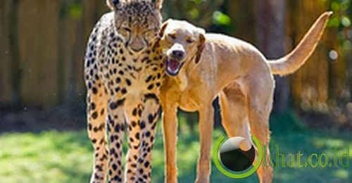 Cheetah & Anjing
