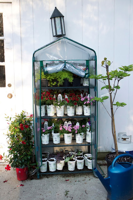 Hardening-off greenhouse