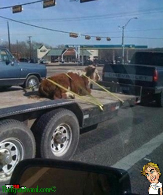 Redneck Cow Transport