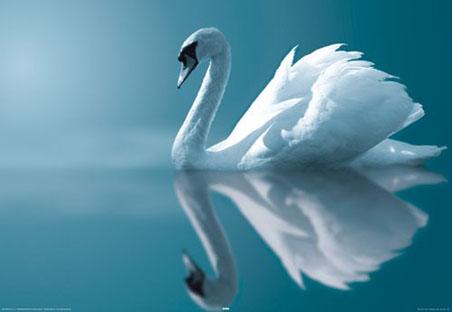 Swan+-+Beautiful+Bird+%25289%2529.jpg