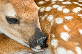 A White-tailed deer fawn