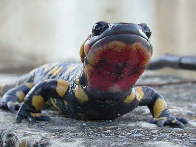animales-raros-salamandra-comun