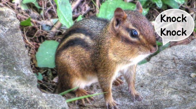 "Chipmunk Wood Knocking ""Clucking"" Sound"