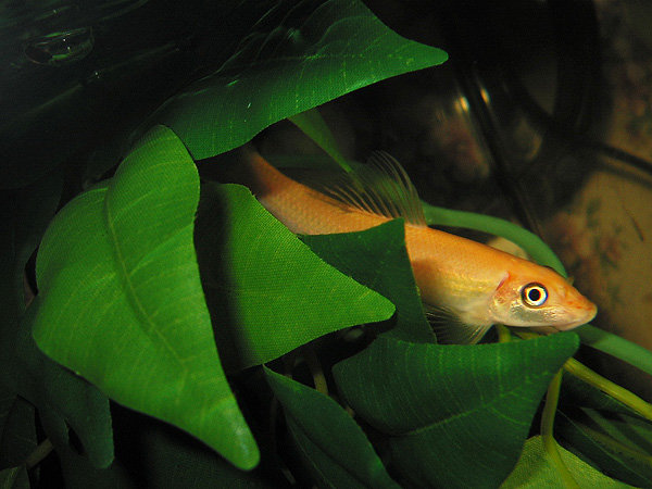 Dojo Loach Fish With Pictures Fish Pictures Online