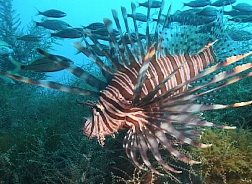 מהם דגי זהרונים (Lion fish) ?