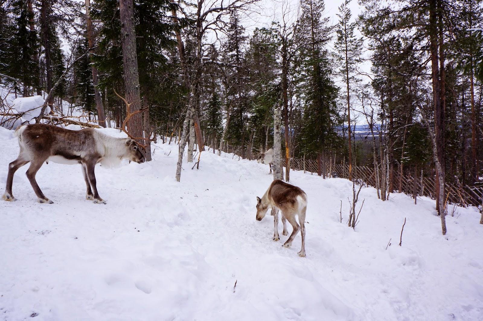 reindeer lapland levi