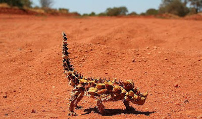 Strange Thorny Mountain Devil Lizard Seen On www.coolpicturegallery.us