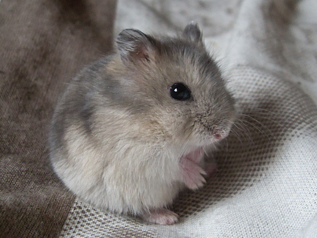 Many pet shops offer these unusually marked hamsters as