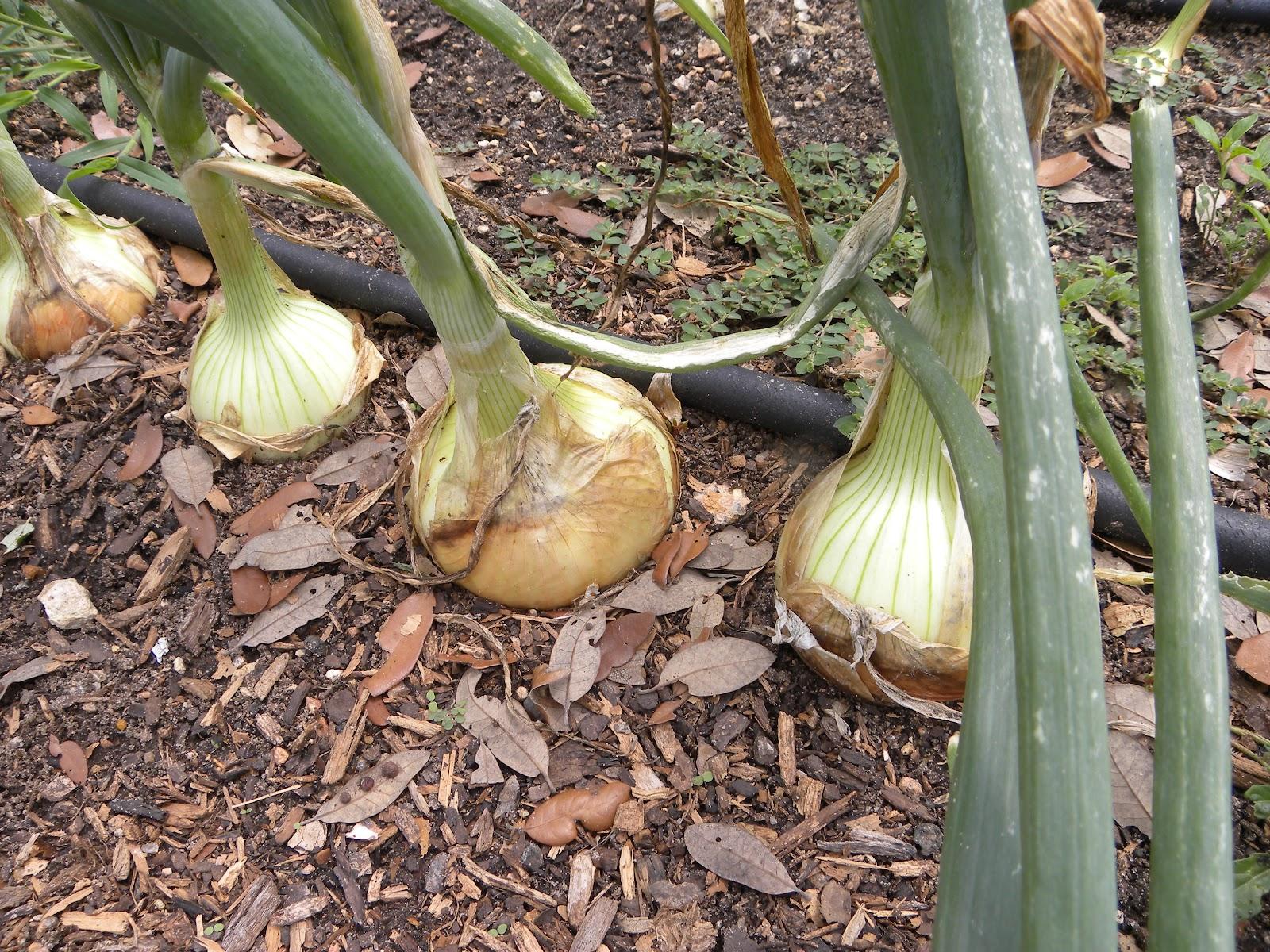 Выращивание семейного лука в открытом грунте на репку 6