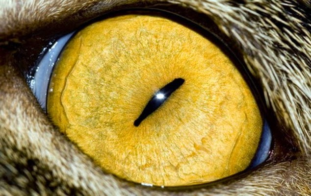 This is the close up of a cat eye.