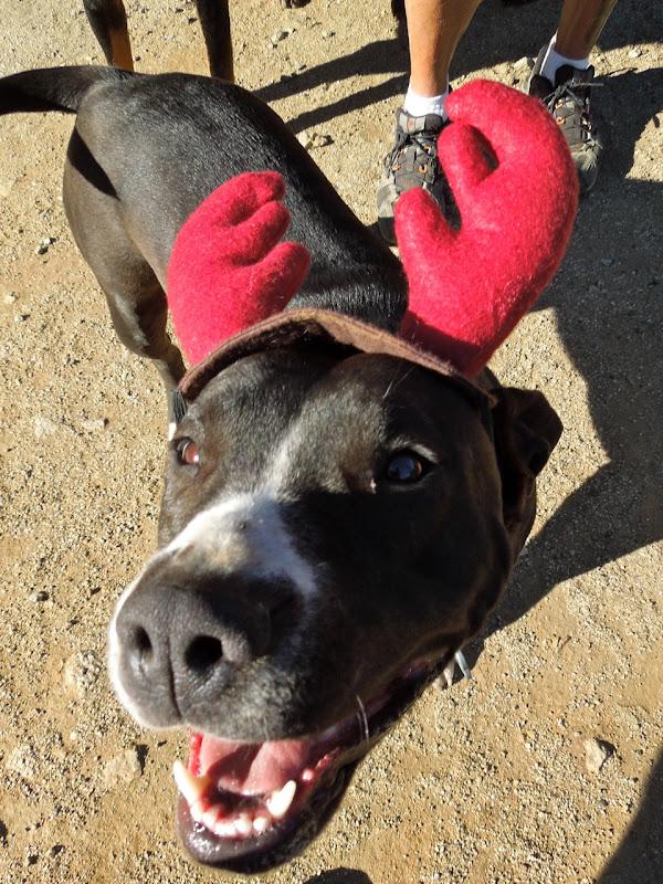 Bella dog reindeer antlers