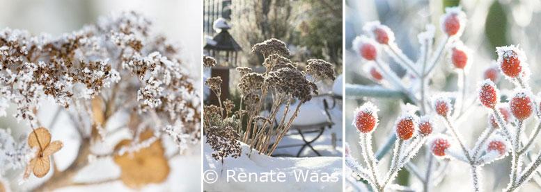 Hagebutte, Früchte und strukturstabile Stauden beleben den winterlichen Garten