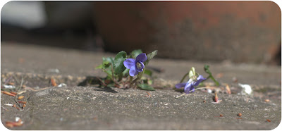 violet flower weed