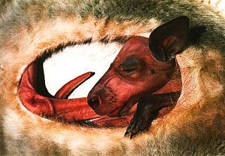 Кенгуру в сумке, Австралия