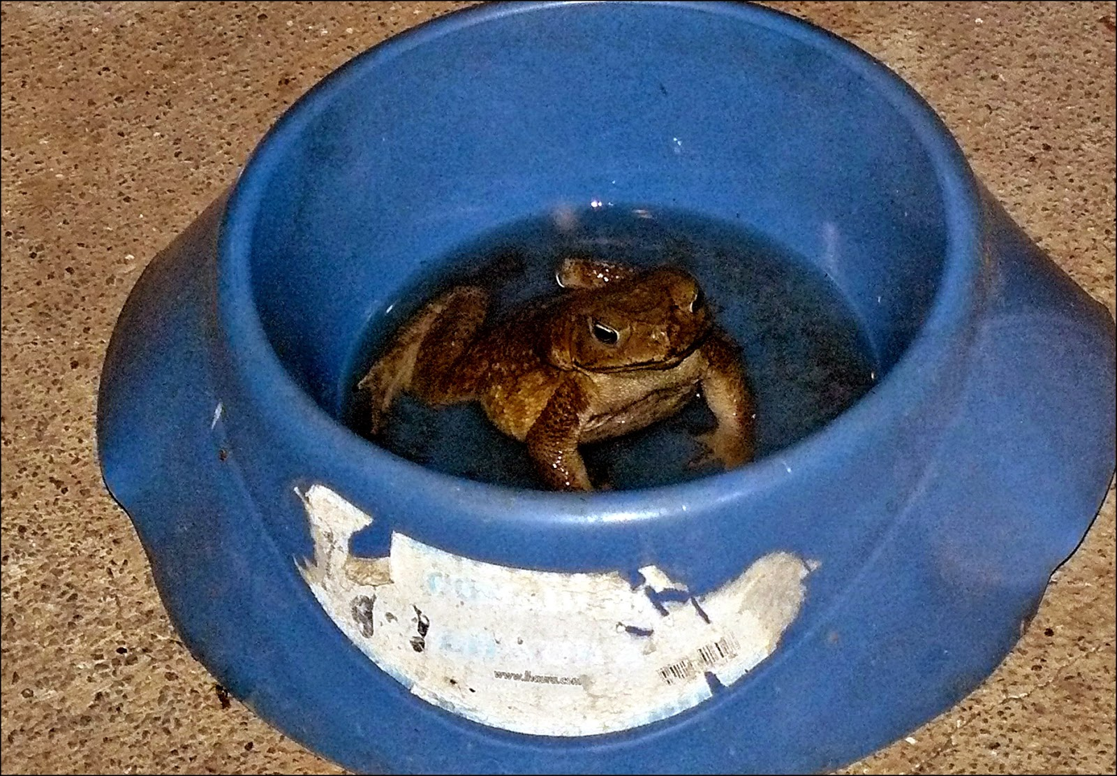 large cane toad in dog's water bowl