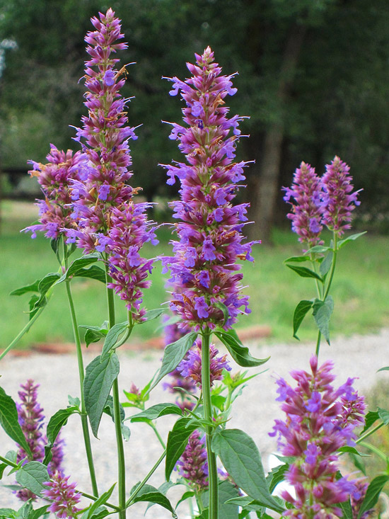 Plants for Your Butterfly Garden : Anise Hyssop