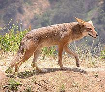 Los lobos.Numero:III Depredadores y sus presas 217px-Canis_latrans