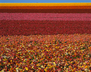 Fields of Ranunculus Flowers in CA, Copyright Americanspirit/Dreamstime.com