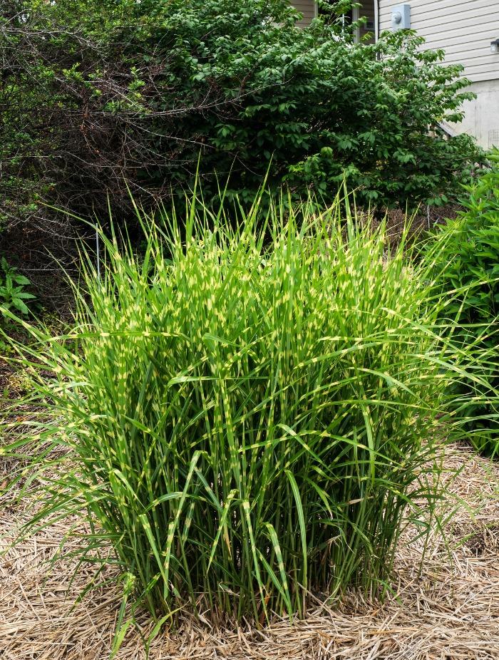 20 gram neas ornamentales para el jard n guia de jardin for Gramineas ornamentales vivero