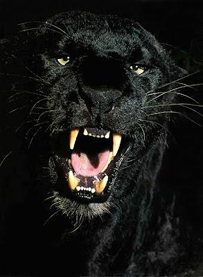 http://4.bp.blogspot.com/-yrqvD8lCvec/TVNASZzBRzI/AAAAAAAAAjo/SCJSF9oQsHw/s400/black-panther.jpg
