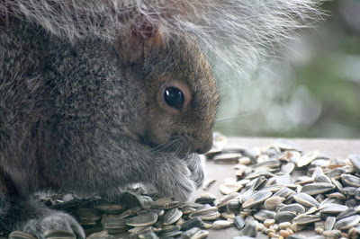 Word of the year for 2014: attain; squirrel attaining its goal of getting my bird seeds! ~ All Pretty Things