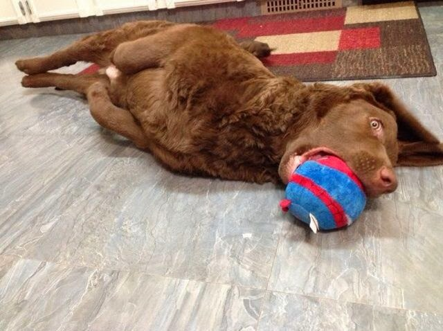 Cute dogs - part 8 (50 pics), dog lays down and chewing his toy