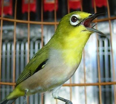 Tips memilih bakalan burung pleci ombyokan