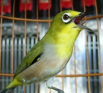 Cara perawatan harian burung pleci agar cepat gacor
