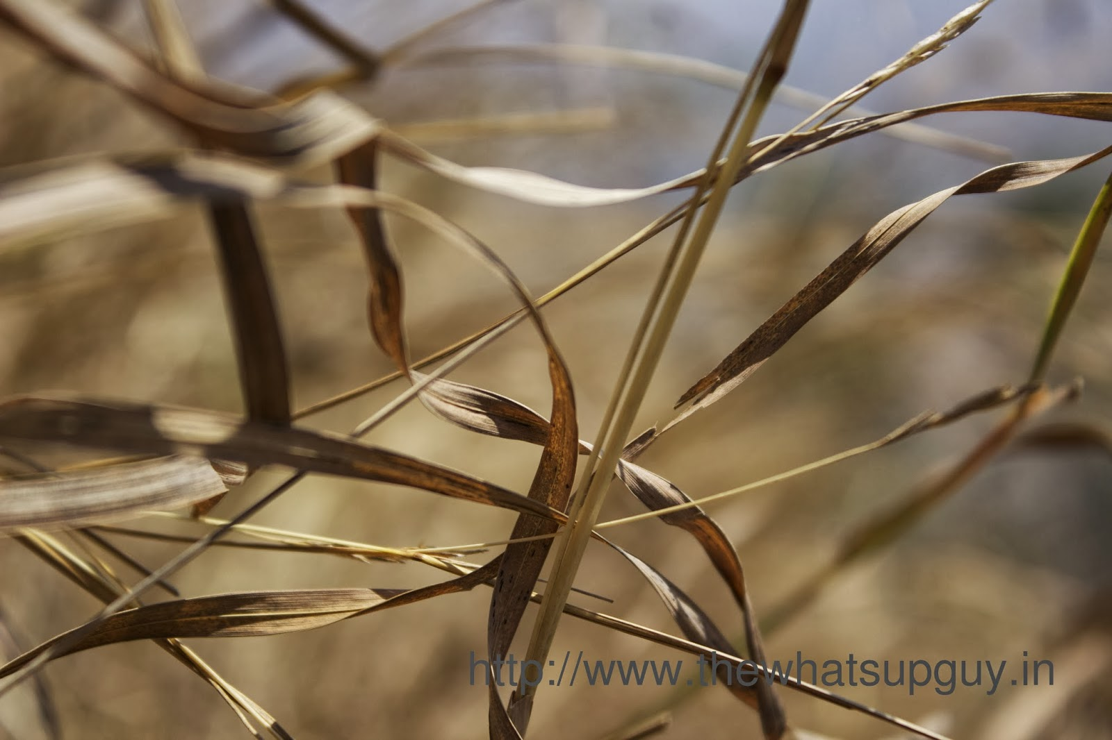 Sun Dried Grass