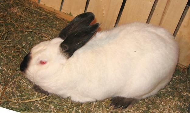 MIL ANUNCIOS.COM - Californianos. Compra venta de conejos