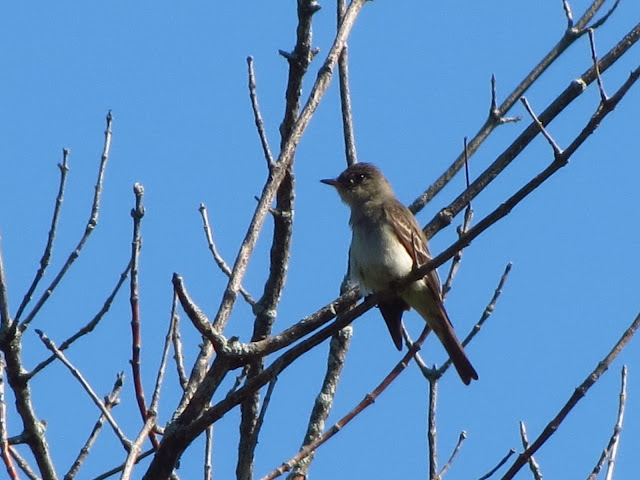 eastern wood-pewee from the side