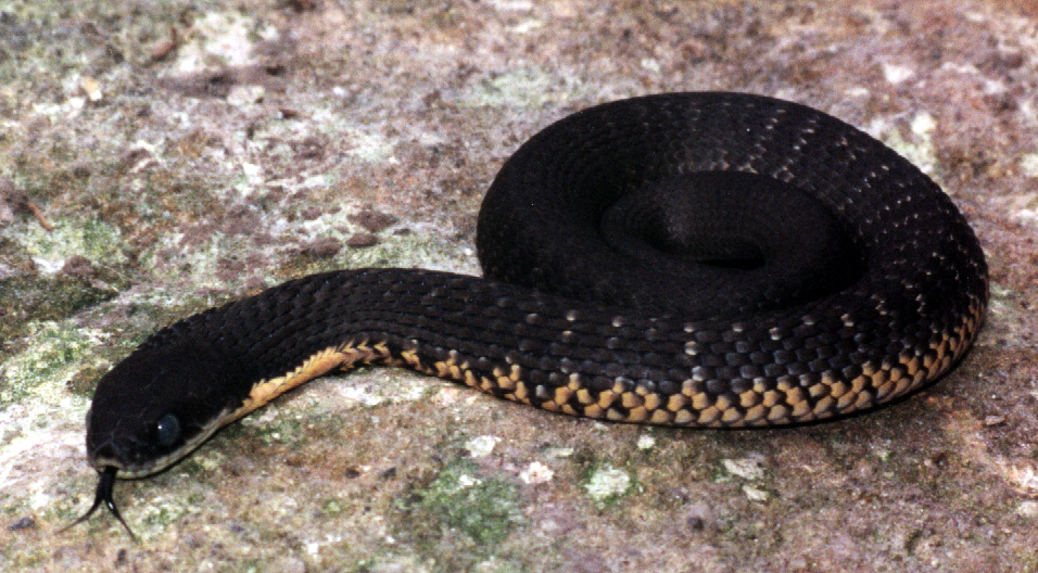 I dieci serpenti pi velenosi della terra for Serpente nero italiano