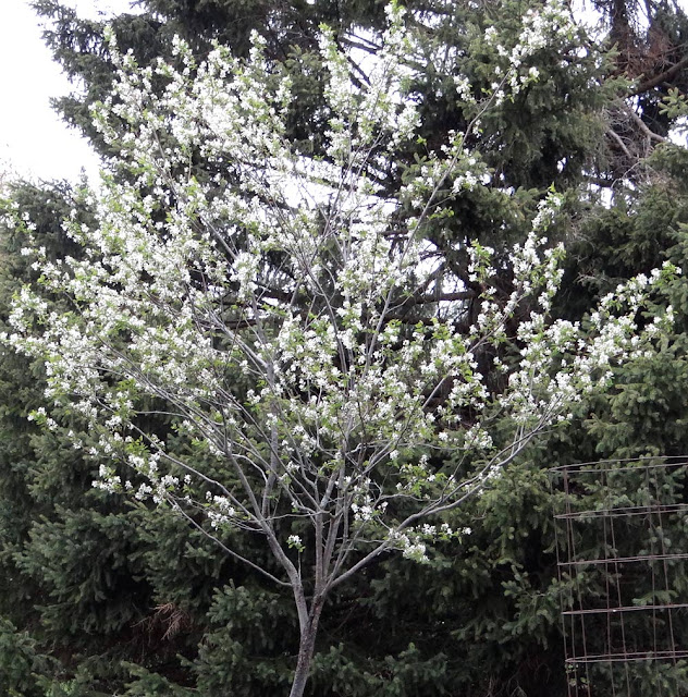 Amelanchier arborea - the most tree-like of the Amelanchiers
