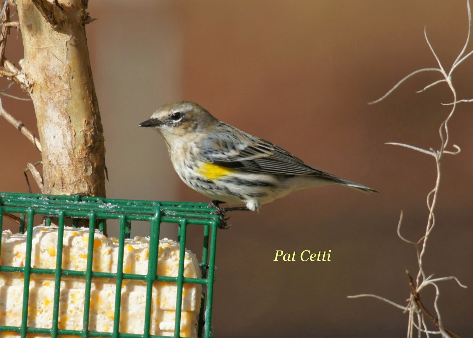 Yellow Rumped Warbler.