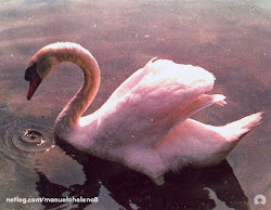 O Cisne