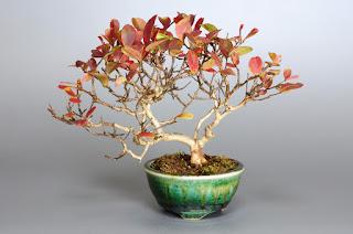 サルスベリ-V1(さるすべり・百日紅)小品盆栽の販売と育て方・作り方