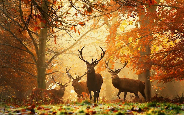 Deer Herd in Forest Autumn HD Nature Wallpaper