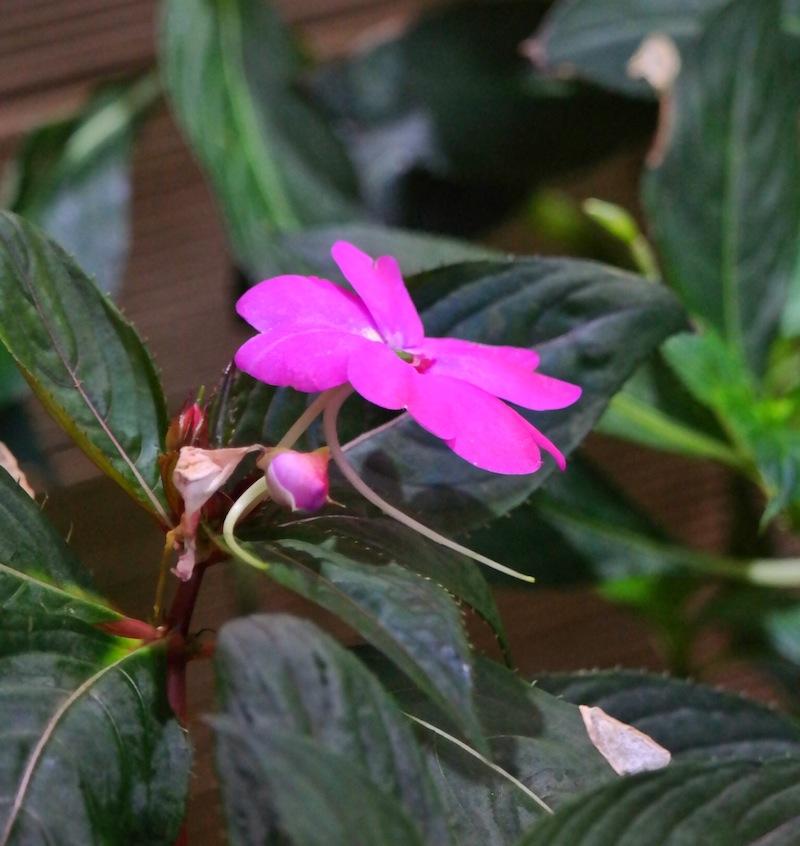bunga pacar air