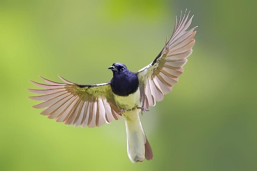 pesona burung kacer foto gambar burung kacer yang bagus