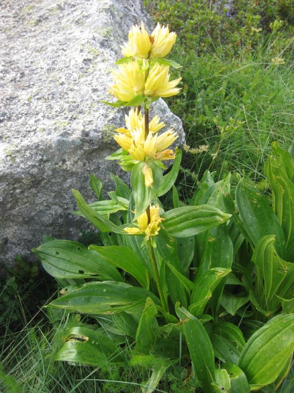 Flores del pirineo septiembre 2013 - Plantas perennes exterior ...