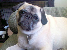 Meet Frank - the pug
