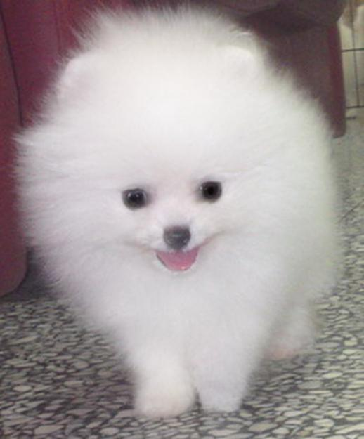 Baby White Pomeranian Puppies Wallpaper Desktop HD