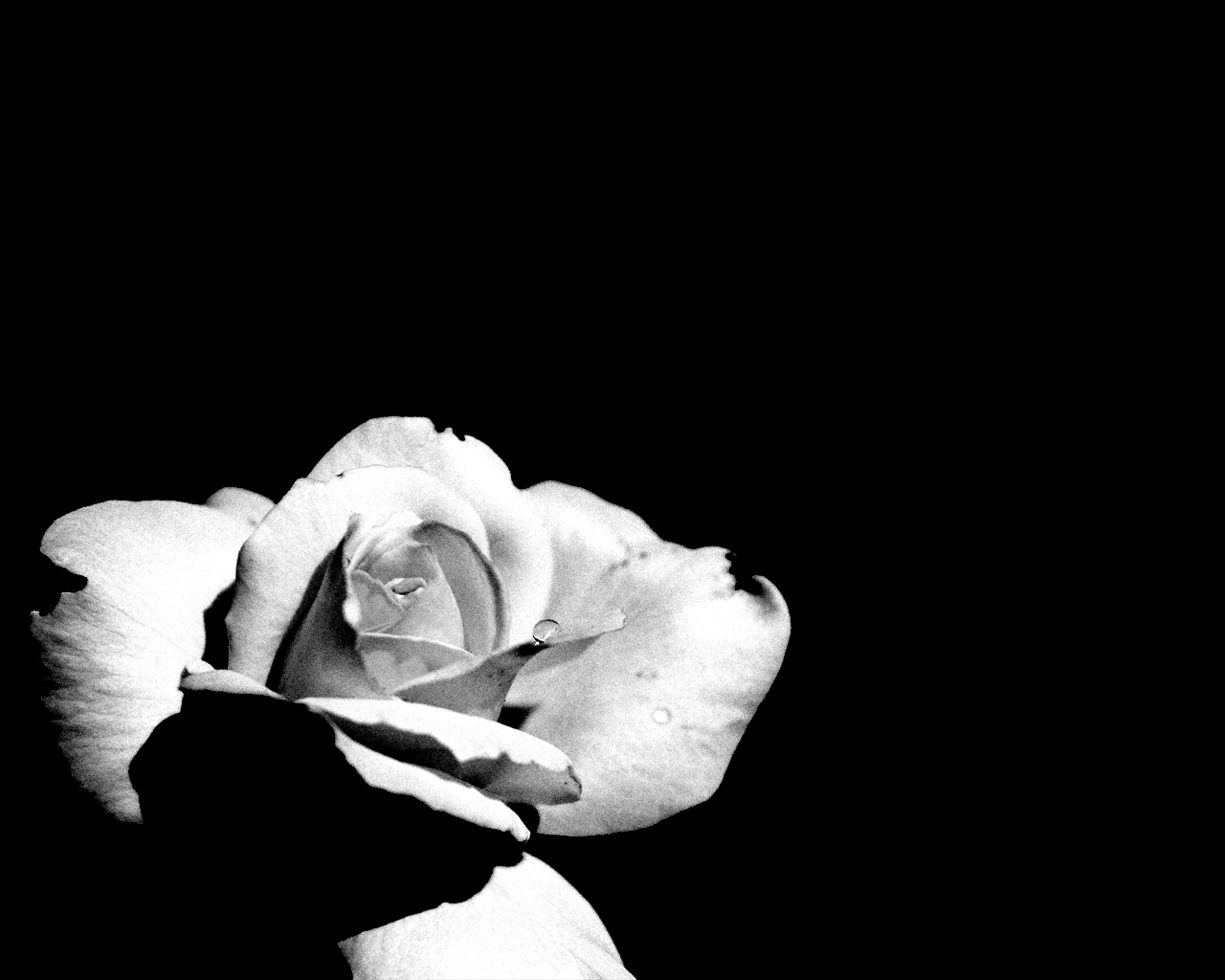 Black And White Rose Tumblr