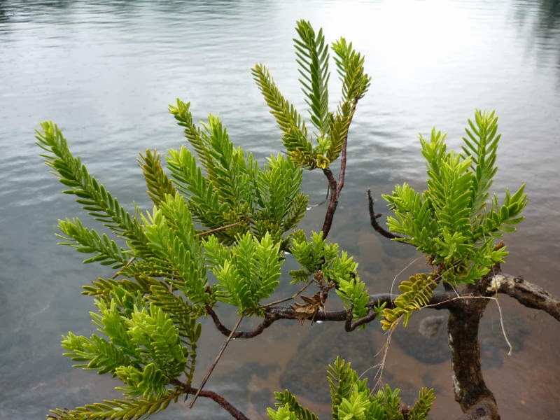 Barcodes for trees: researchers identify genetic fingerprints of endangered conifers