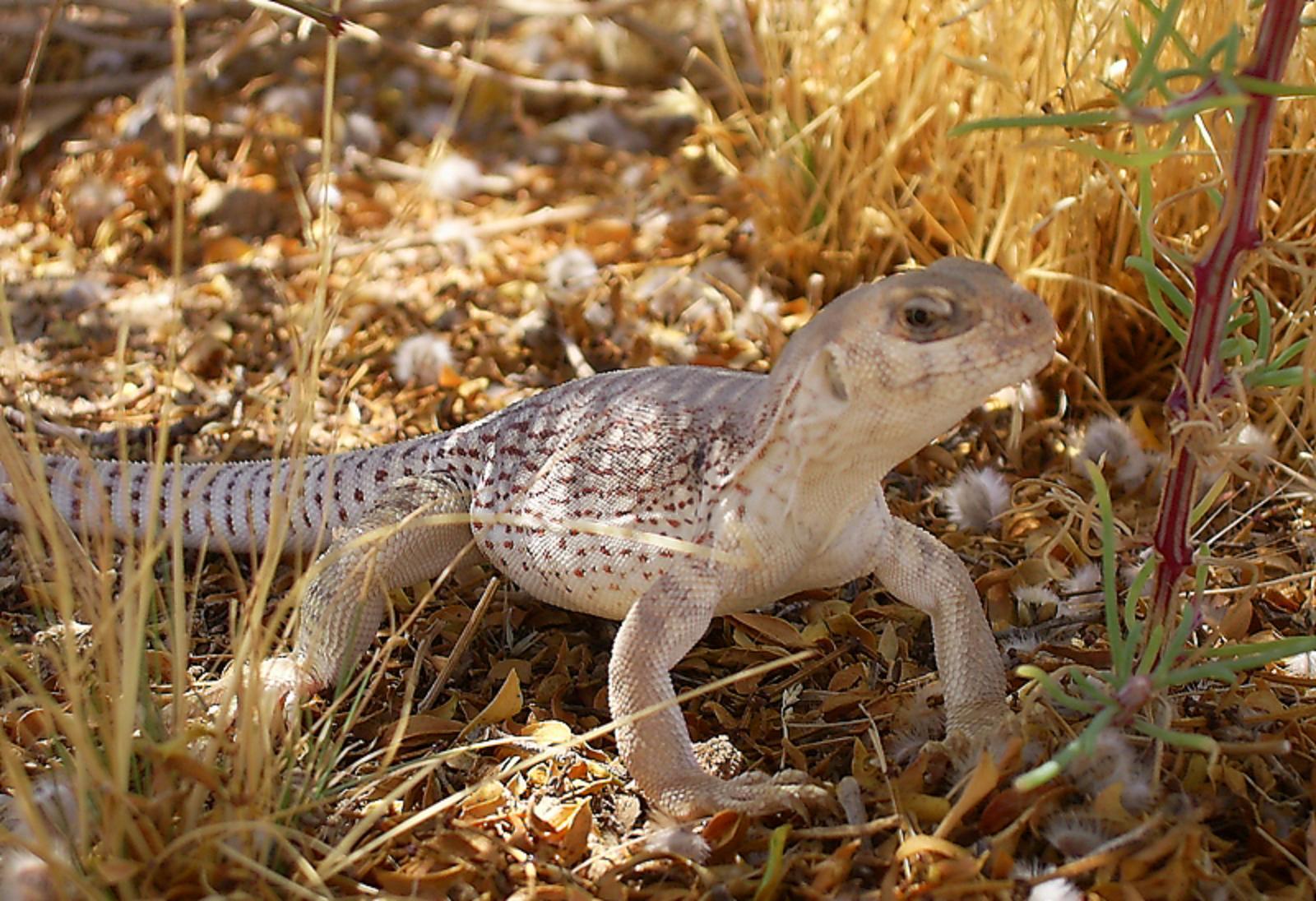 desert iguanas the life of animals