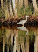White Faced Heron reflected