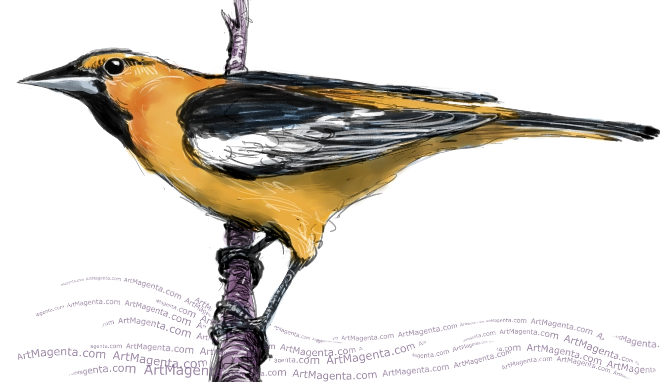 Bullock's Oriole sketch painting. Bird art drawing by illustrator Artmagenta